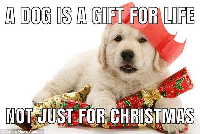 #puppies #puppy #dogs #dogchurch #goldenretriever #christmas #christmasdog #christmaspuppy #christmaspuppies #puppyasagift
