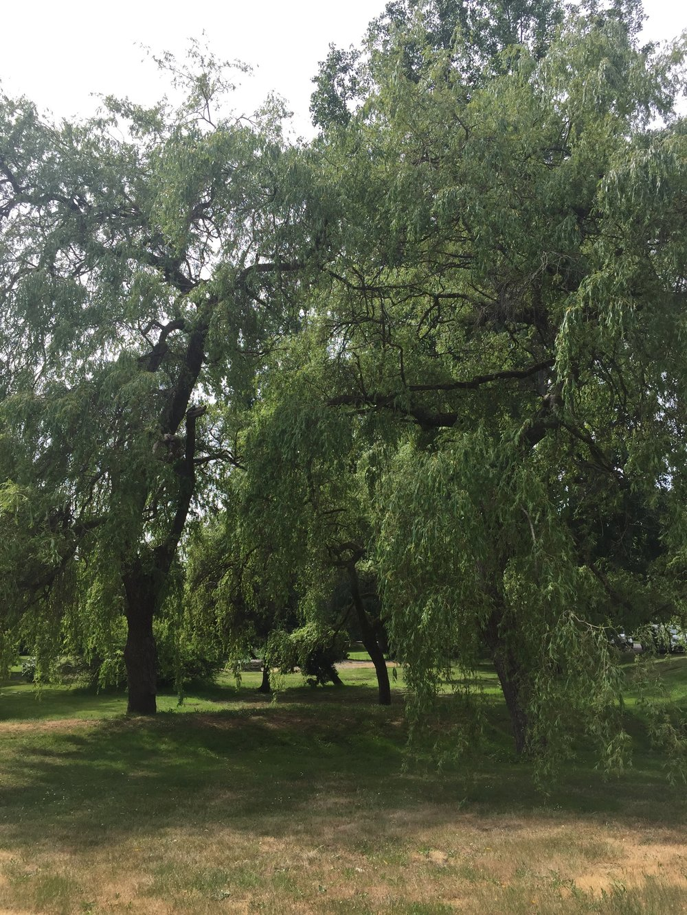 The largest of the two Scouler's willows appears to be on the right.