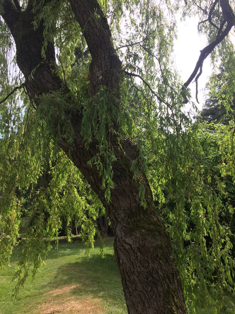 Scouler's willow.