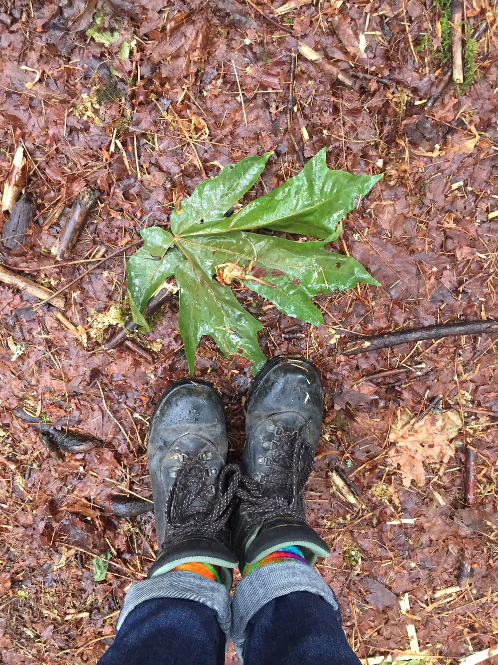 """David Tracey aptly describes the bigleaf maple leaf as """"the Canadian flag's sugar maple on steroids."""" Feet for scale, as I'm a scientist."""