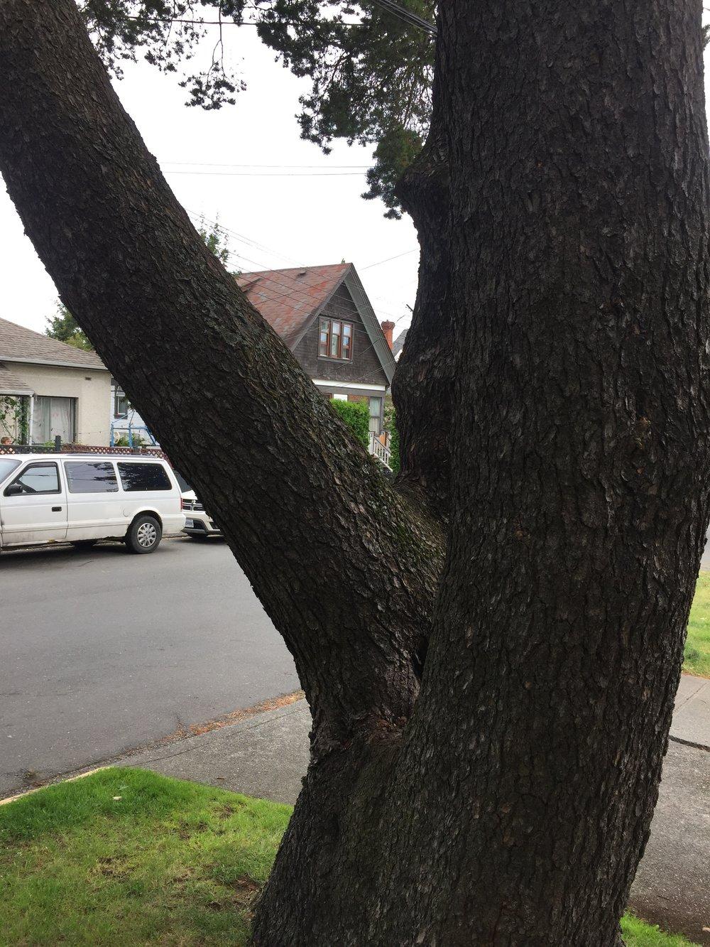 Shore pine trunk.