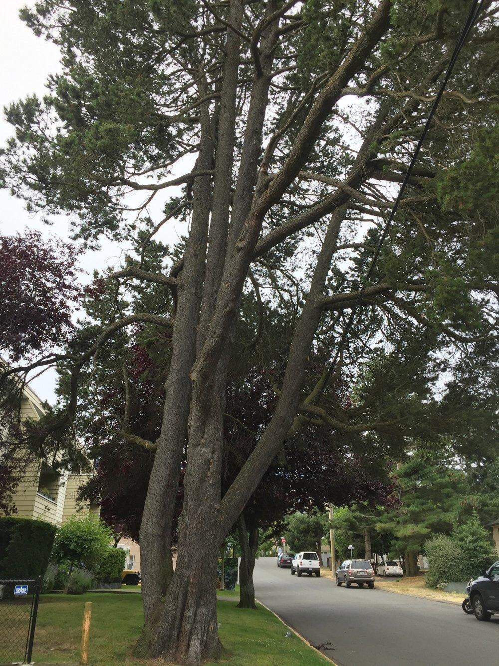 Shore pine, Esquimalt, Vancouver Island.