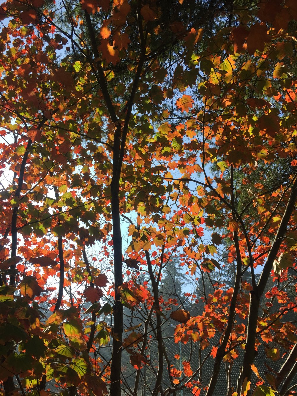 Vine maples in their autumnal glory. Central Park, Burnaby.