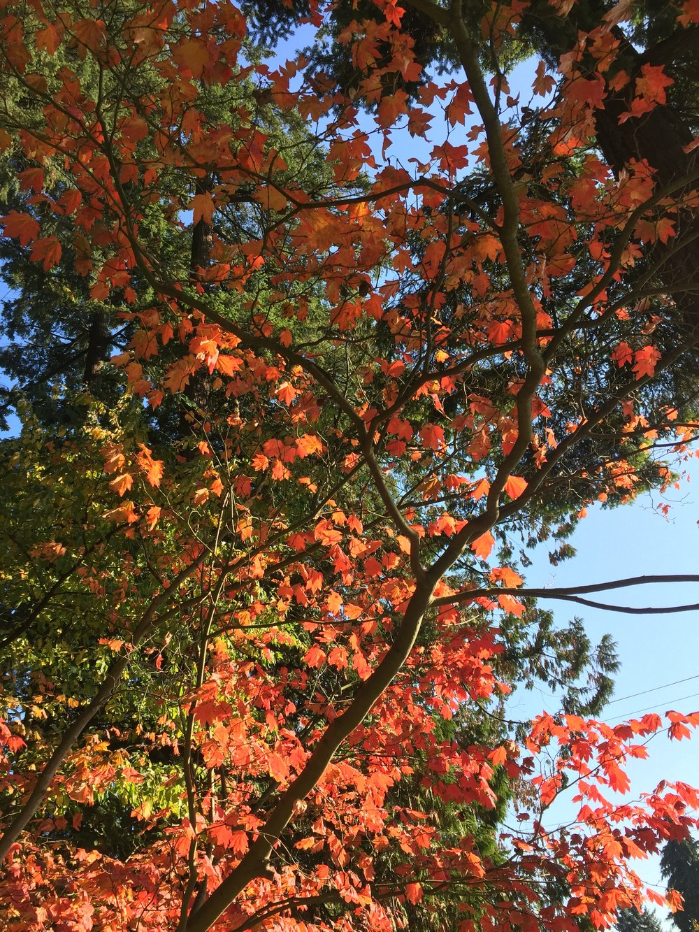 Vine maple in autumn. What a beaut.