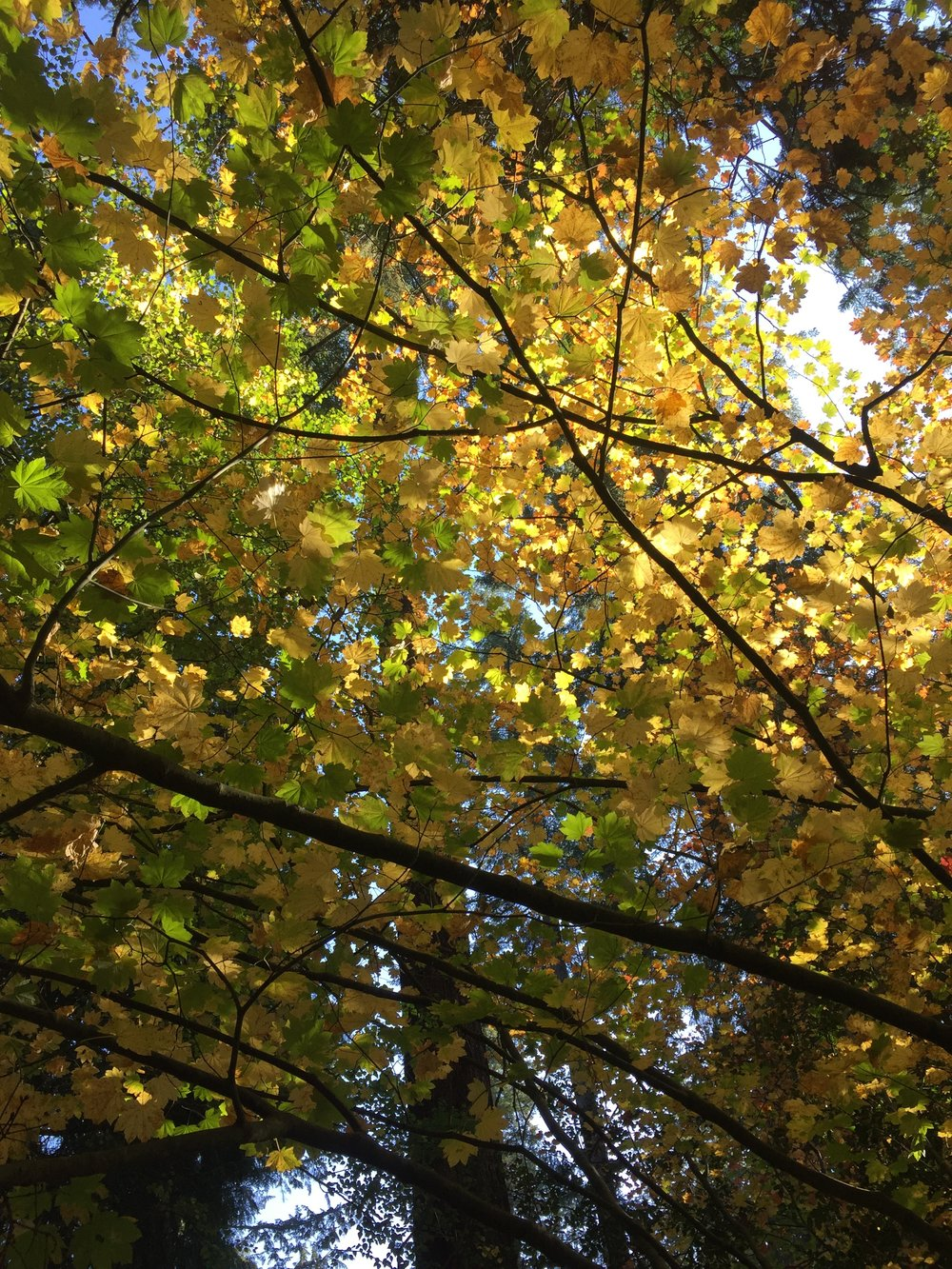 Glowing vine maple. Central Park, Burnaby.