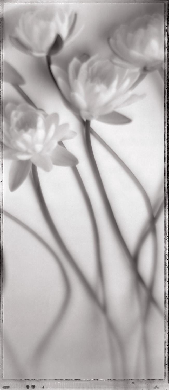 Lilies II