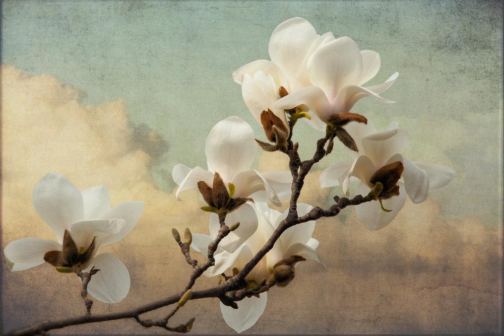 Cloud Blossoms