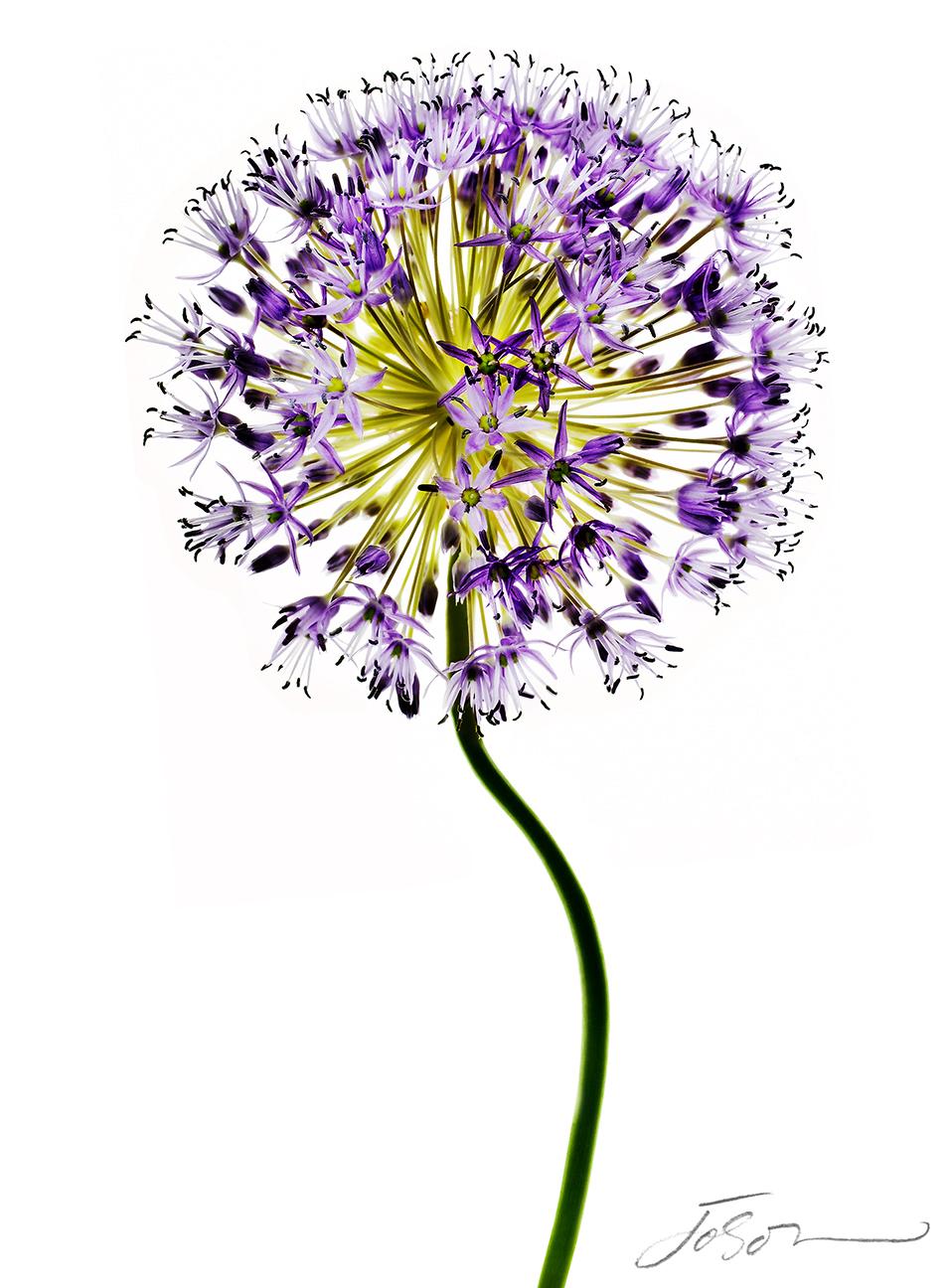 Giant onion (Allium giganteum)