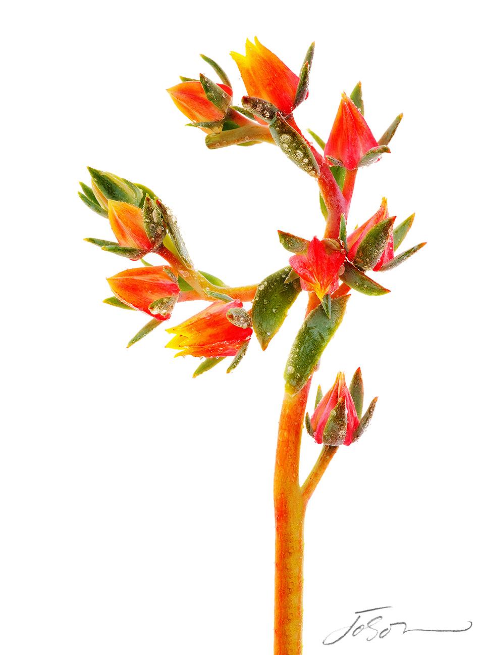 Succulent (Echeveria)
