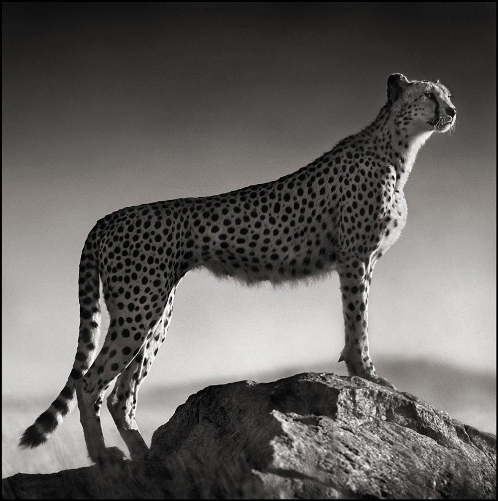 Cheetah Standing on Rock, Serengeti, 2007