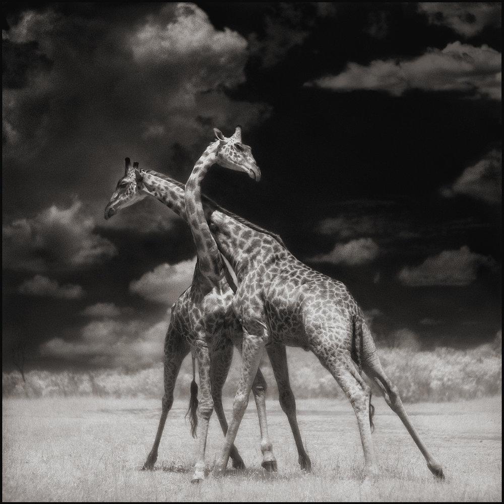 Giraffes Battling in Sun, Maasai Mara, 2006