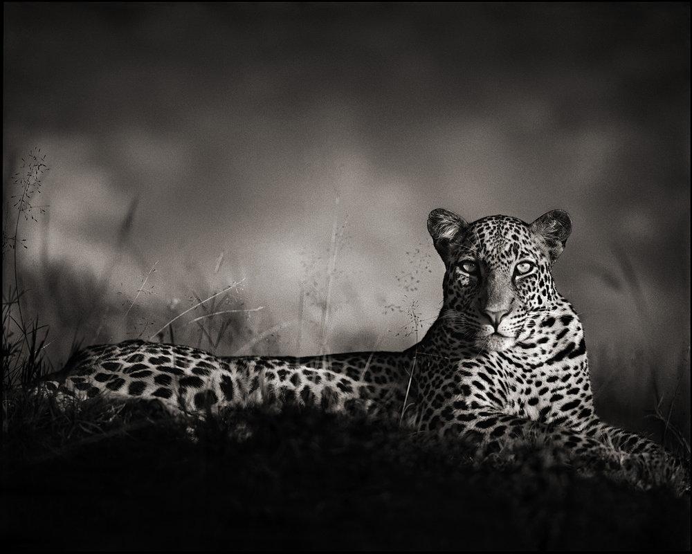 Leopard Staring, Masai Mara, 2010