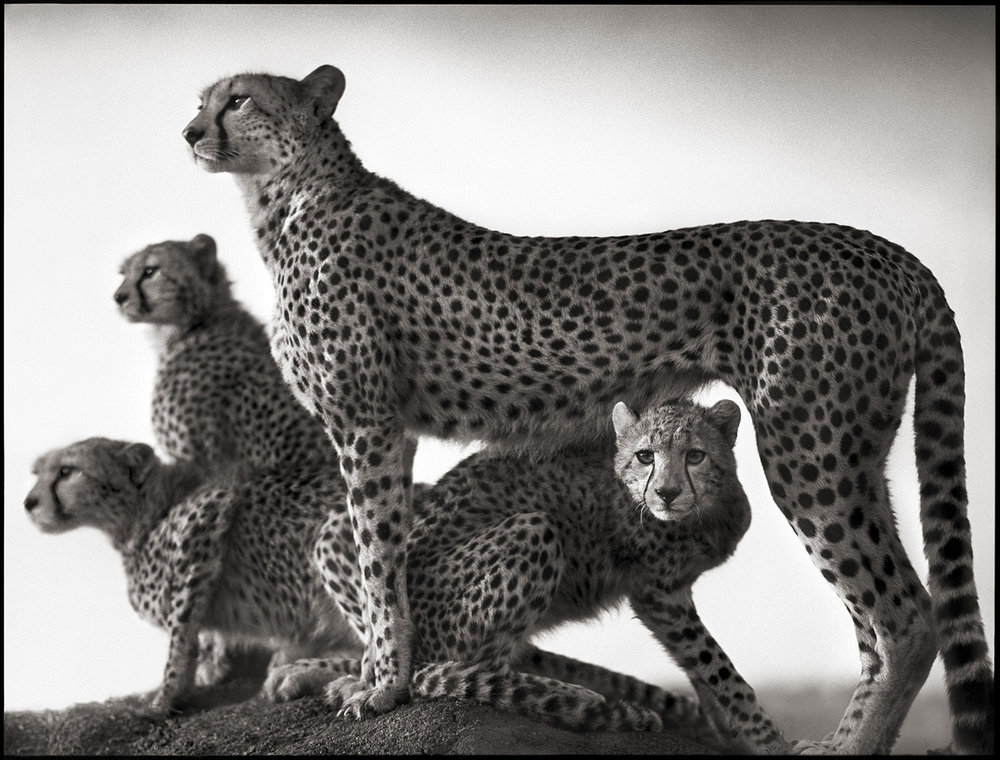 Cheetah & Cubs, Maasai Mara, 2003
