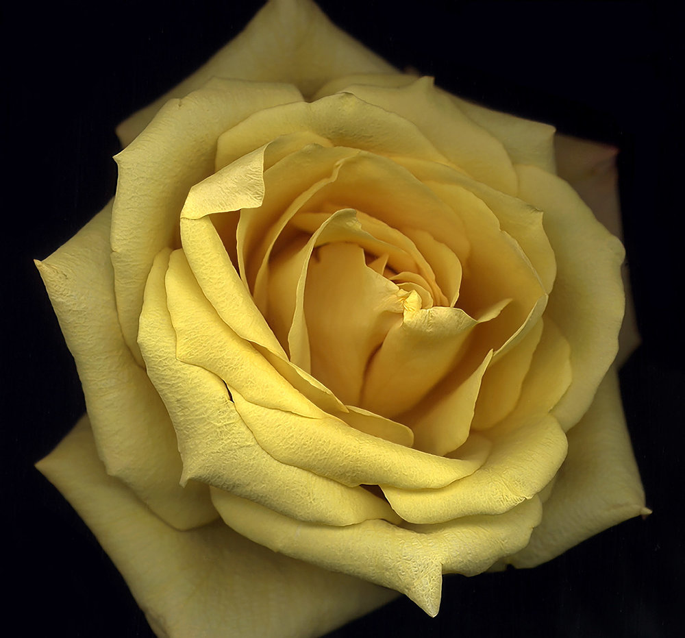 Fred Collins -  Yellow Rose