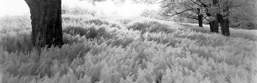 Sean Kernan -  Ferns Under Trees, New York