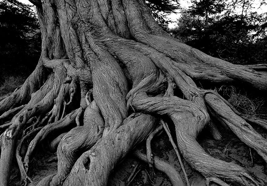 Sean Kernan -  Sequoia Root, California