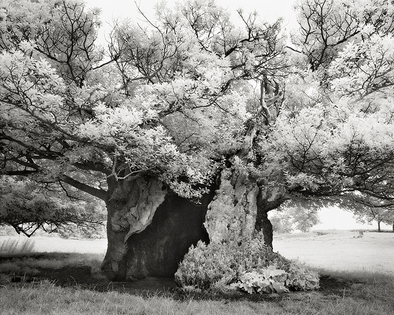 Queen Elizabeth Oak