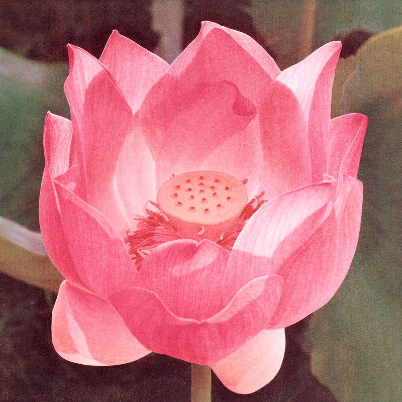 Early Morning Lotus
