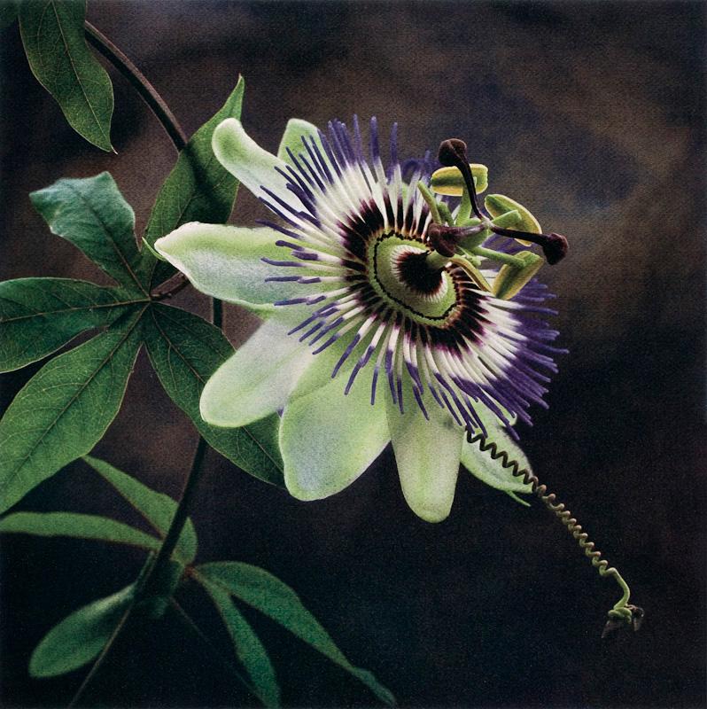 Passion Flower II