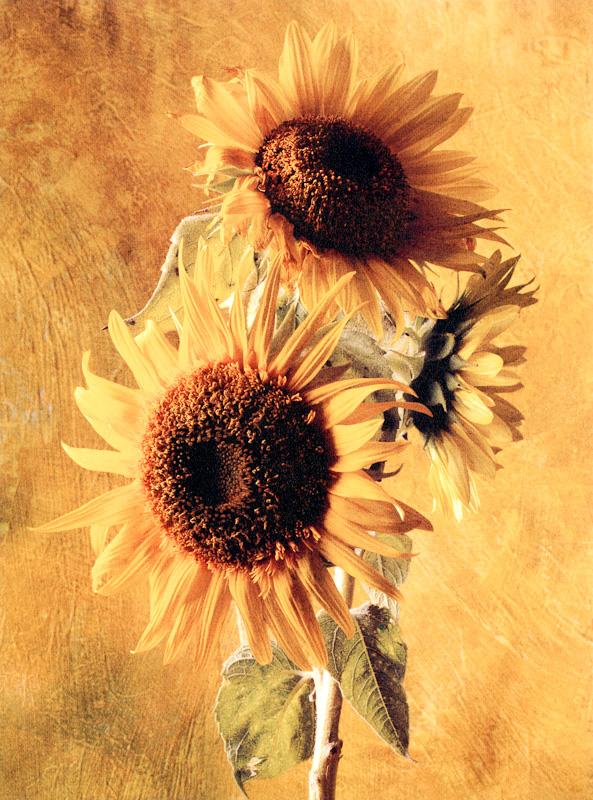 Sunflower of the Incas