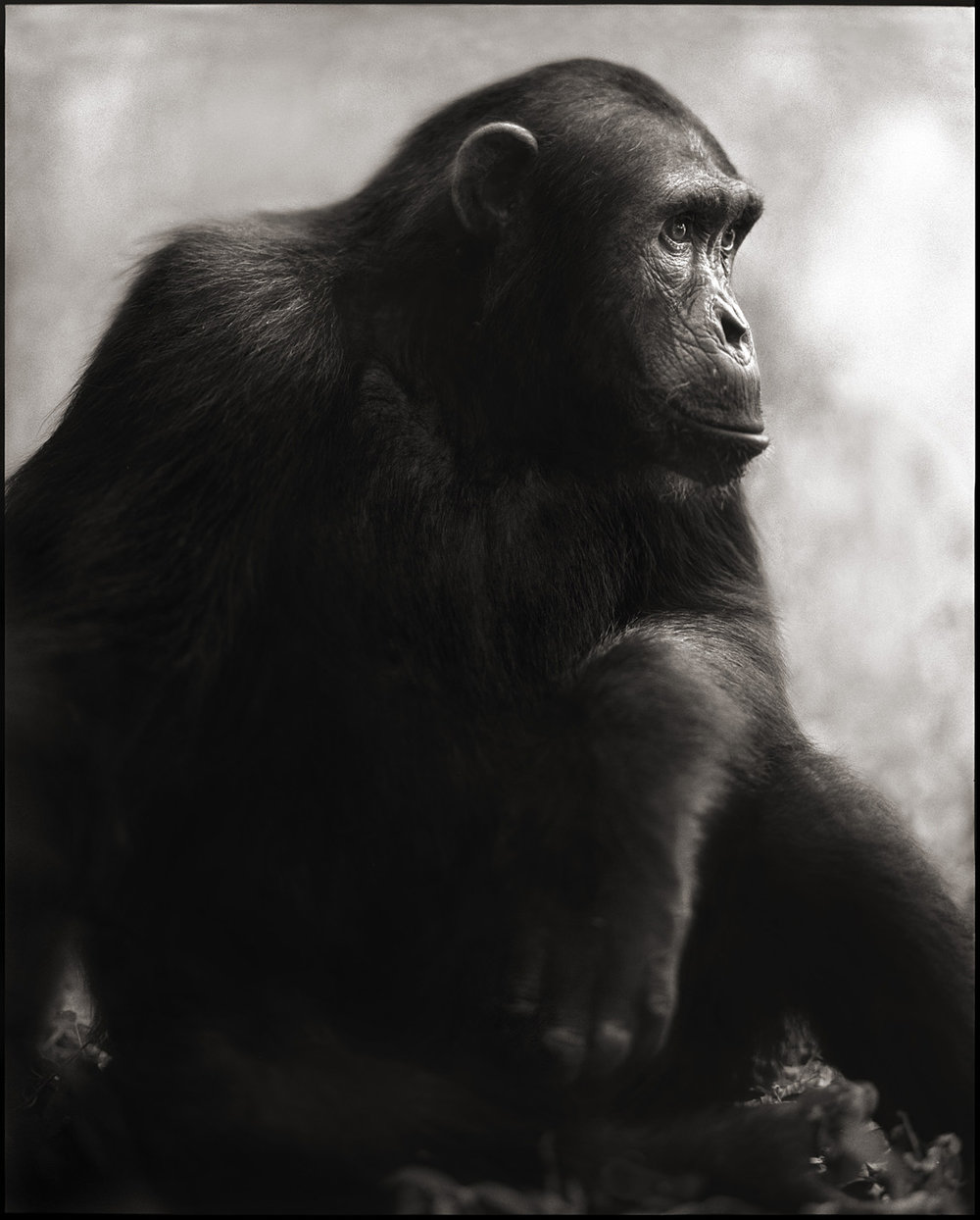 Chimpanzee Posing