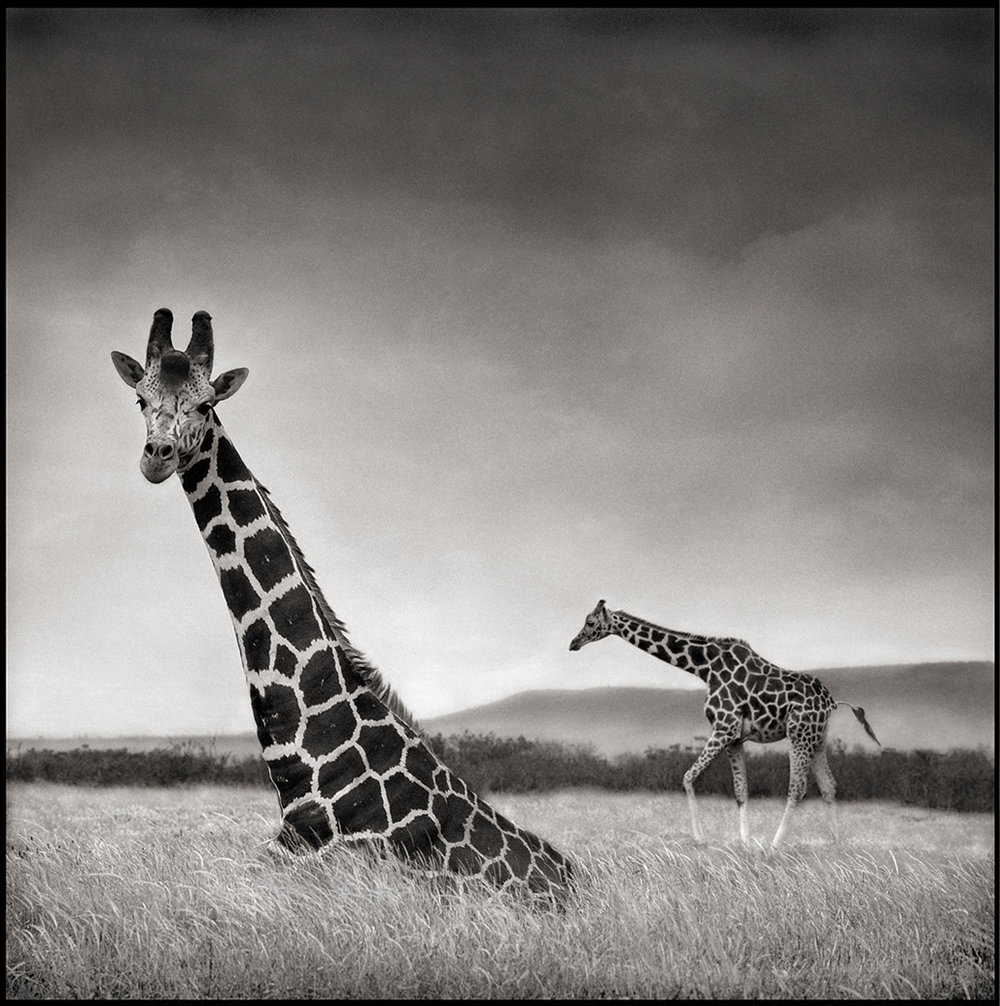 Giraffe Sitting
