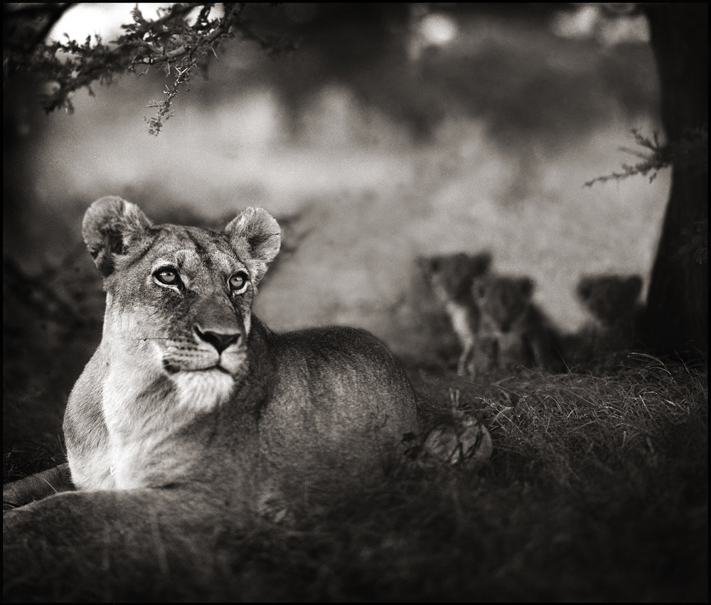 Lioness with Cubs Under Tree