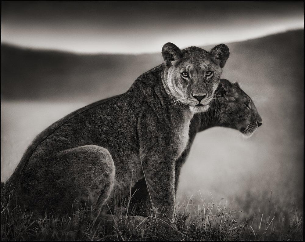 Sitting Lionesses