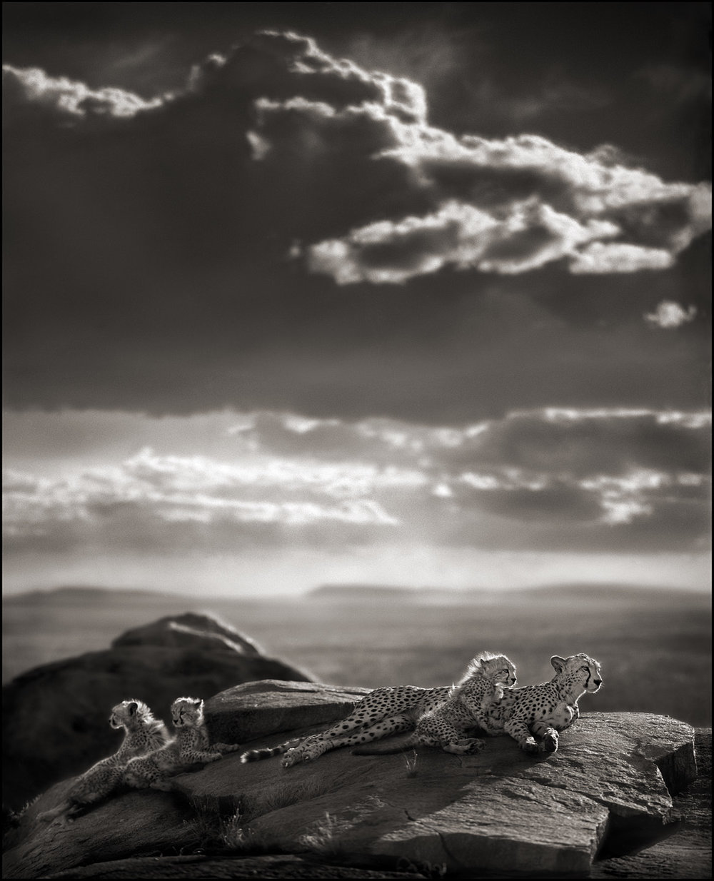 Cheetah and Cubs Lying on Rock