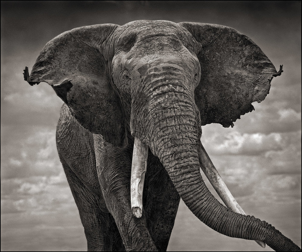 Elephant with Tattered Ears