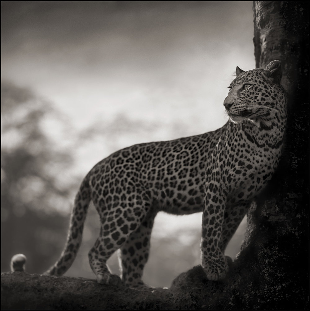 Leopard in Crook of Tree