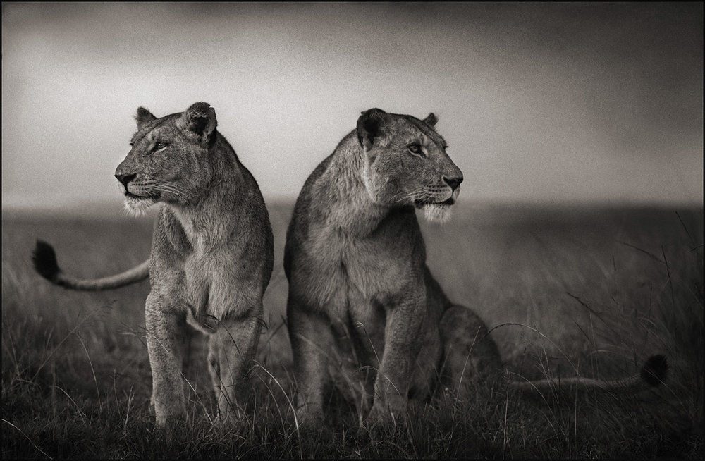 Lionesses Readying to Hunt