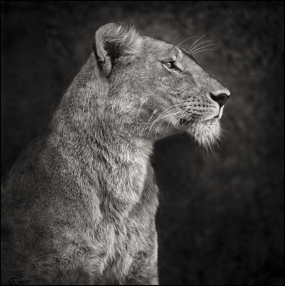 Portrait of Lioness Against Rock