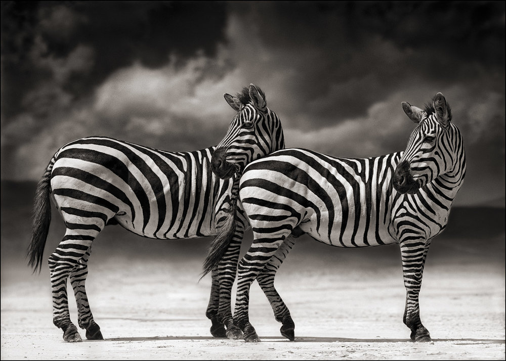 Zebras Turning Heads
