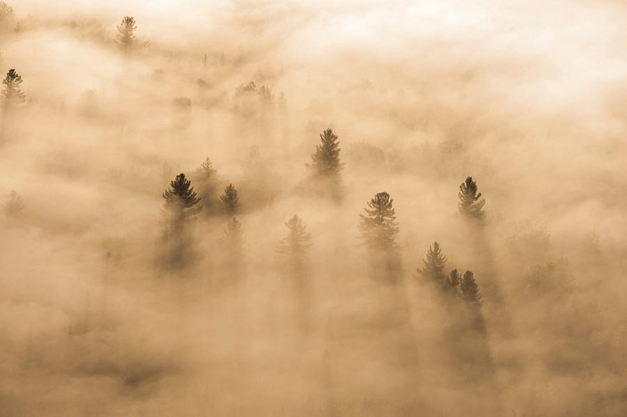 Conifers in Morning Fog near Saranac Lake, NY
