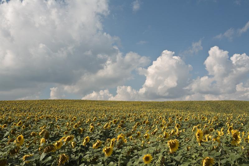 Sunflowers (1), September 2007