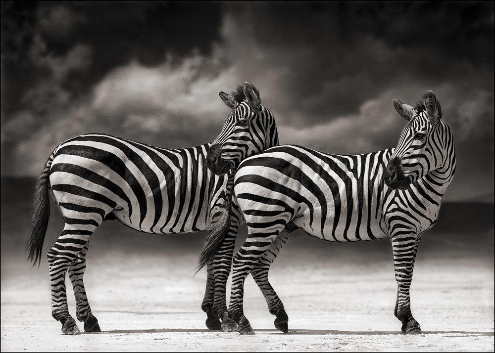 Zebra Turning Heads.jpg
