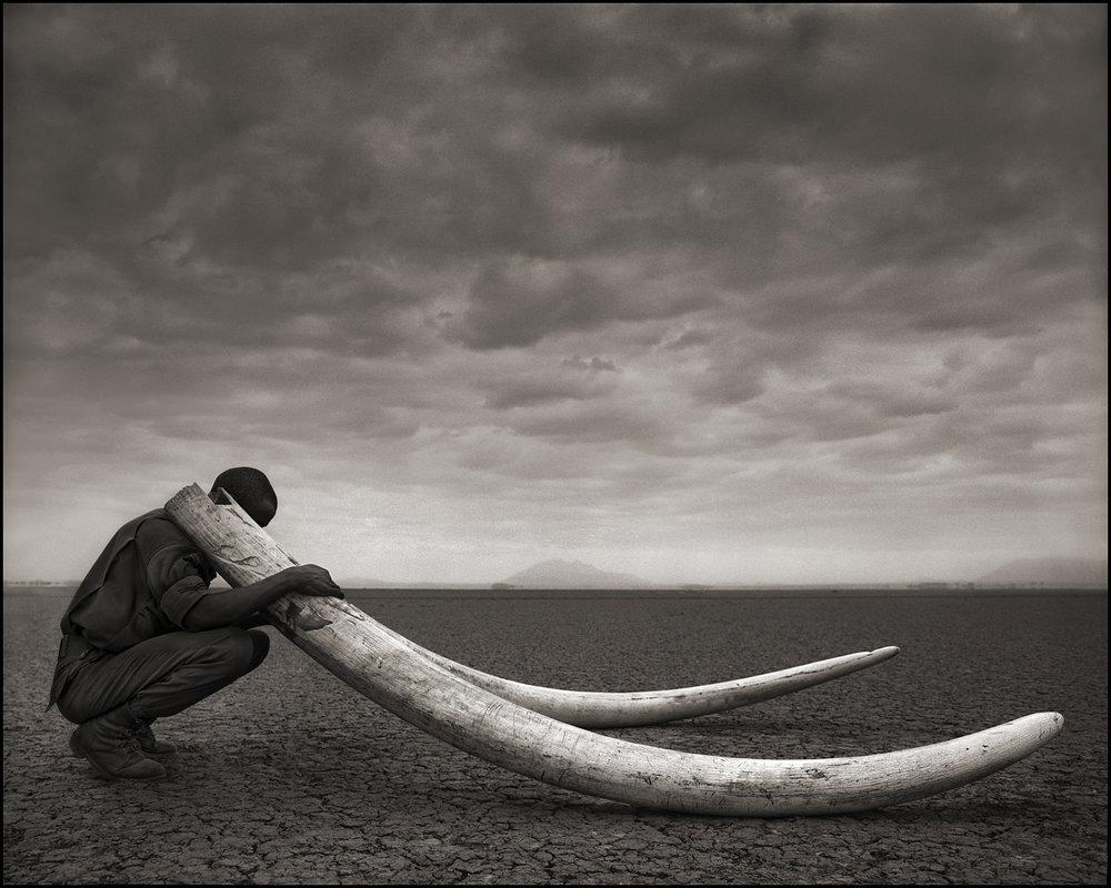 Ranger With Tusks of Killed Elephant.jpg