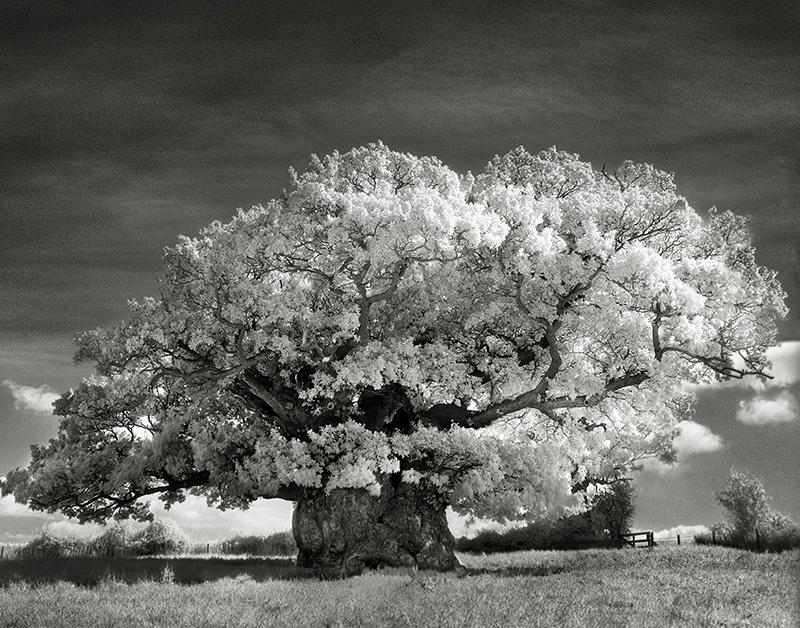 The Bowthorpe Oak.jpg