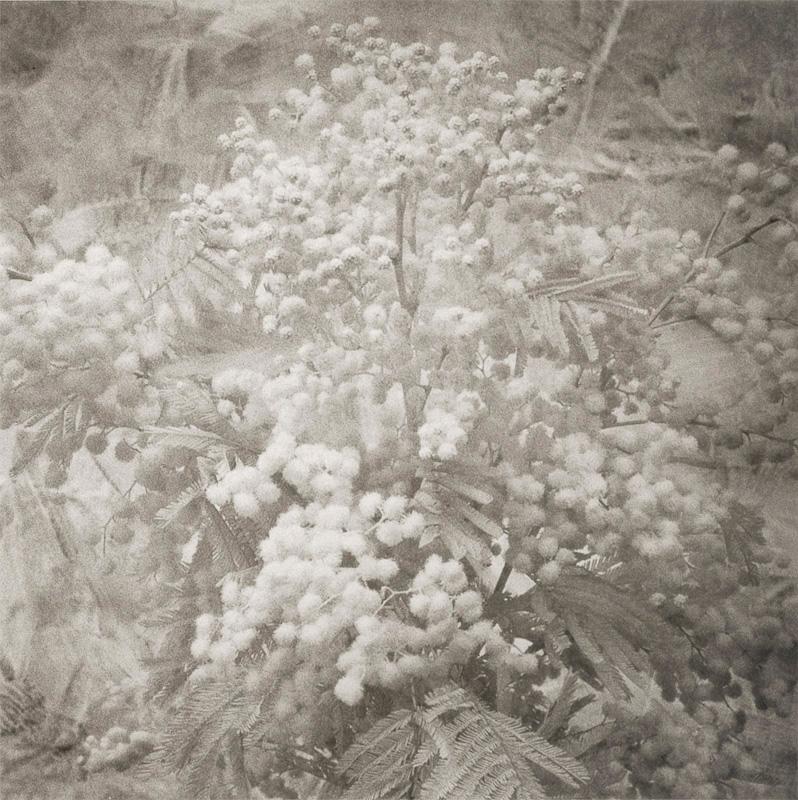 Florentine Mimosa.jpg
