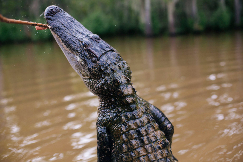 Alligator in the swamps (photos by  Arnaud Montagard )