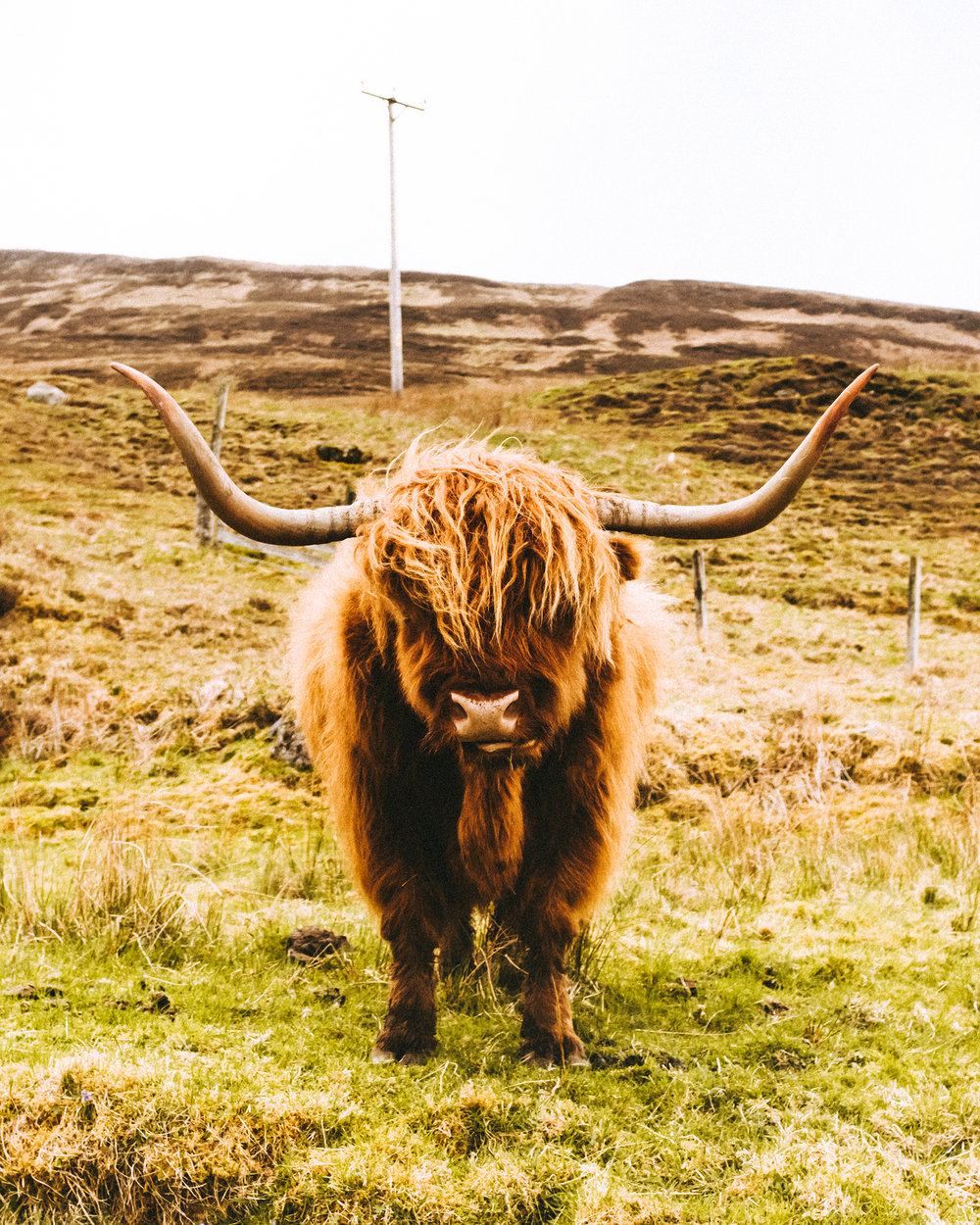 Highland cattle with their stylish haircut