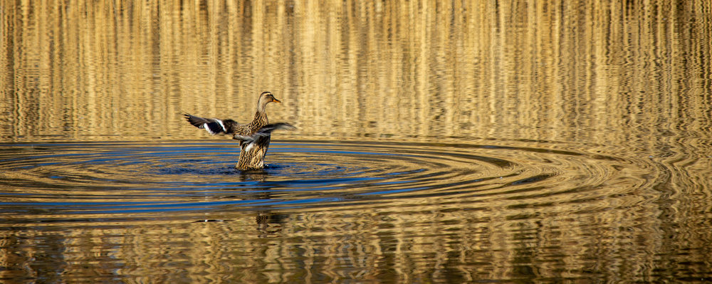 Landing on Golden Pond by Gordon Mutten