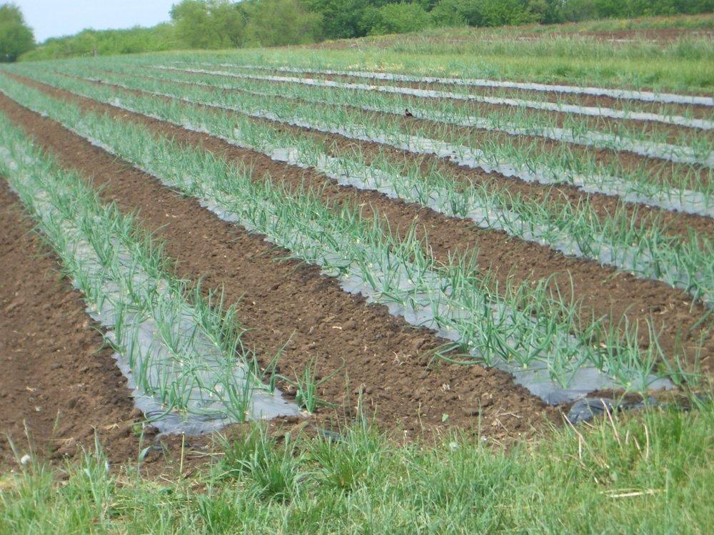 Onions Bates Co.JPG
