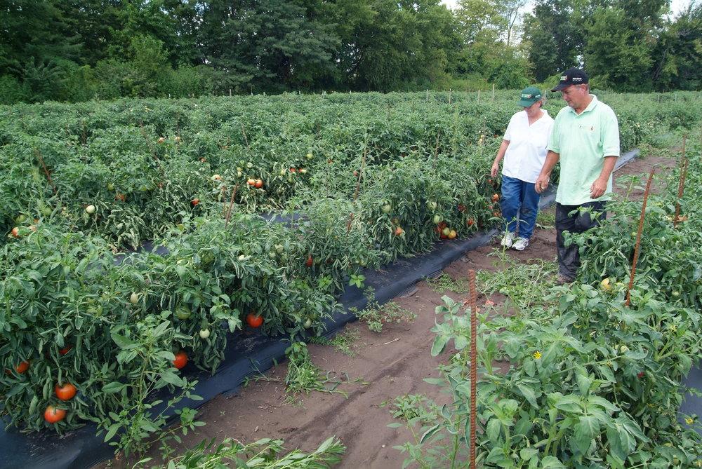 Moyers tomato field.JPG
