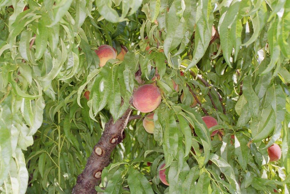 Peach Close up .JPG