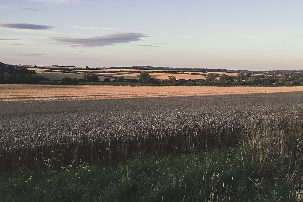 Hampshire Wheatfield at golden hour, Hampshire, UK