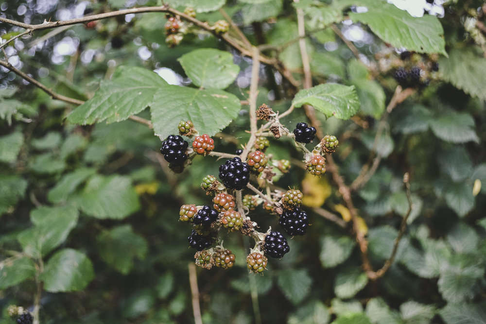 Ripe Blackberries in Autumn on a countryside walk
