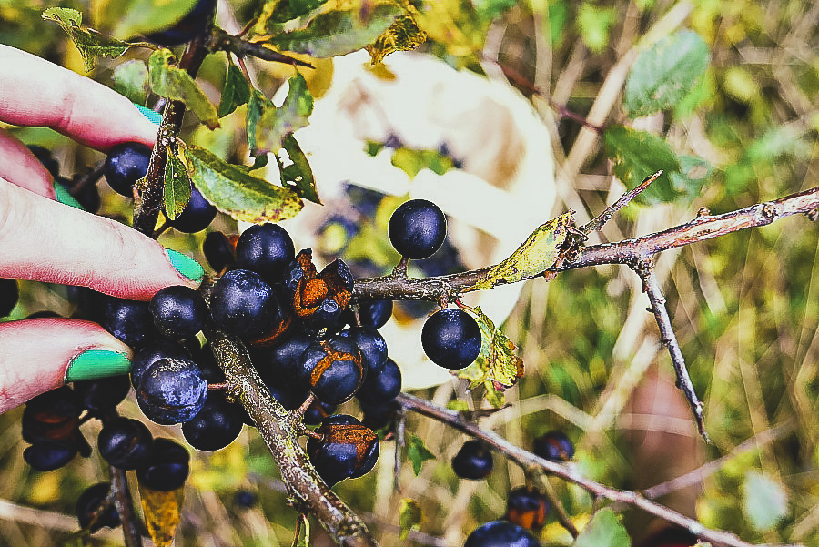 Picking sloes to make sloe gin with - homemade sloe gin recipe