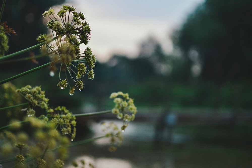 Seed heads on the edge of a river bank on a summer's evening